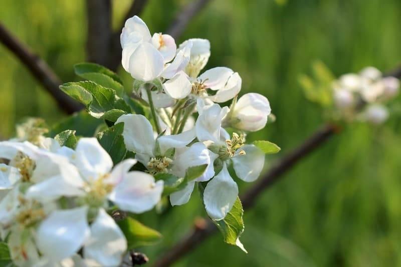 Чем подкормить яблоню во время и до цветения весной