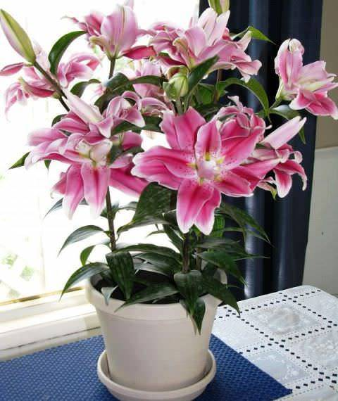 Комнатная лилия в горшке — название и как ухаживать за цветком в домашних условиях