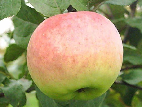 Характеристики и описание яблони сорта имрус, выращивание, посадка и уход