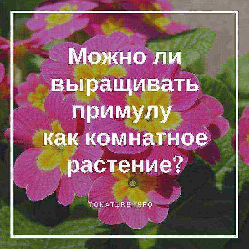 Примула в горшке: уход в домашних условиях - sadovnikam.ru