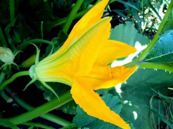 Пустоцвет на кабачках — что делать?