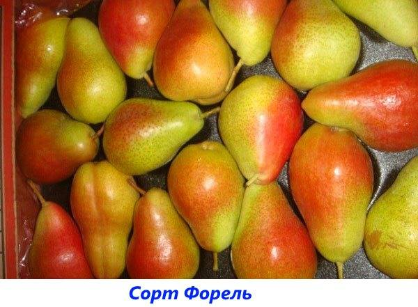 Характеристика сорта груш Радужная