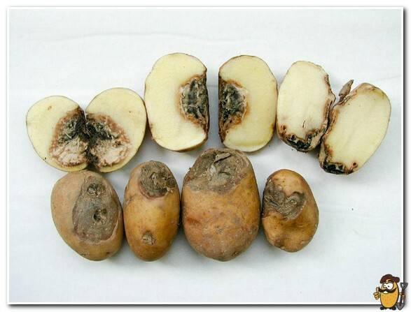 Гниль картофеля: кольцевая, бурая, сухая