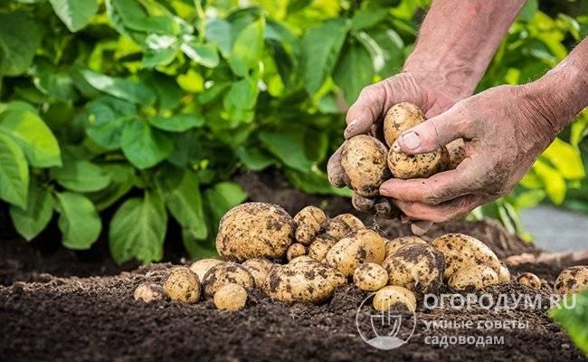 Как правильно хранить картошку: в домашних условиях, в квартире, в холодильнике
