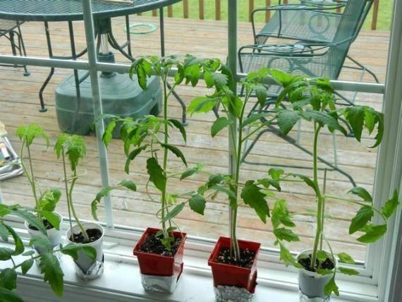 Что делать, если переросла рассада помидоров