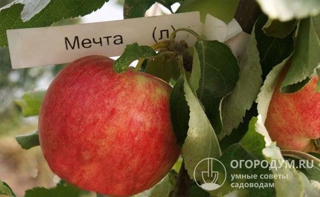 Сорт яблони мечта, описание, характеристика и отзывы, а также особенности выращивания данного сорта