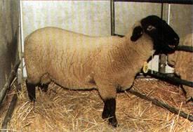 Разведение овец: лучшие породы для домашнего разведения