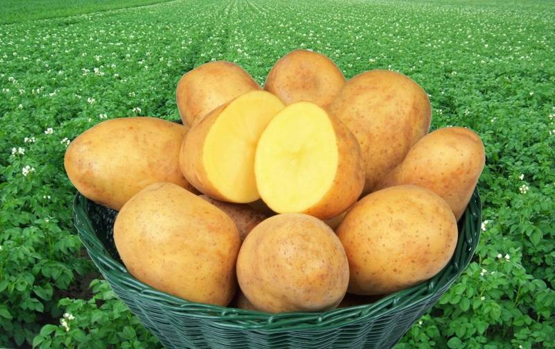 Сорт картофеля адретта и его характеристики + видео