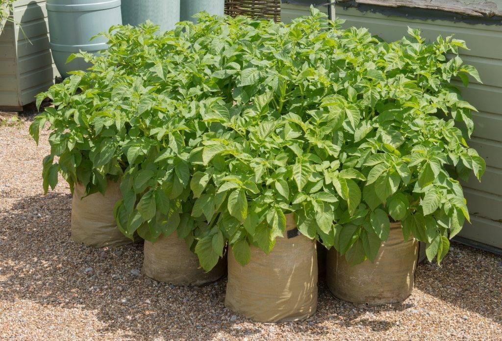 Технология выращивания картофеля в мешках пошагово
