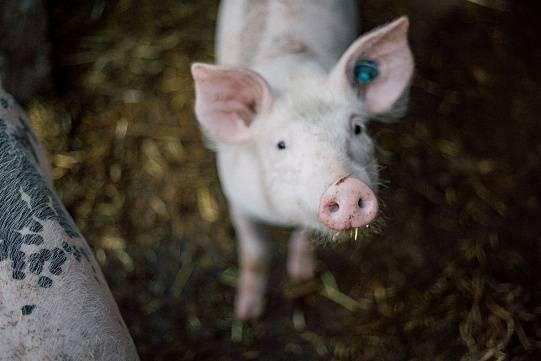Как начать и развивать бизнес по выращиванию свиней: пошаговая инструкция и план
