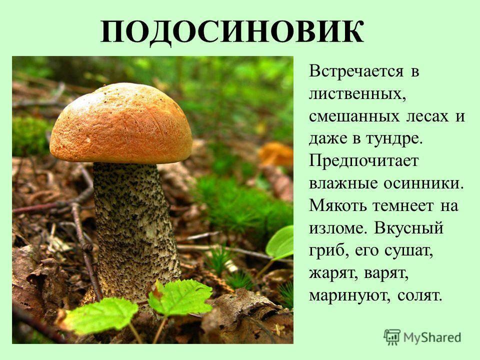 Ложный польский гриб фото и описание