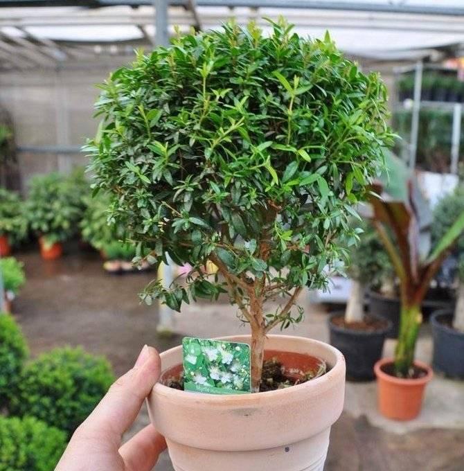Мирт - комнатное растение. уход в домашних условиях и вероятные трудности при выращивании