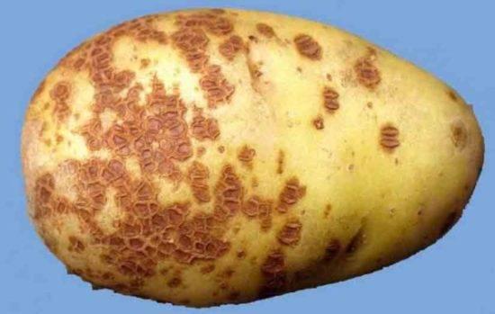 Болезни картофеля: осматриваем клубни, определяем проблему и лечим