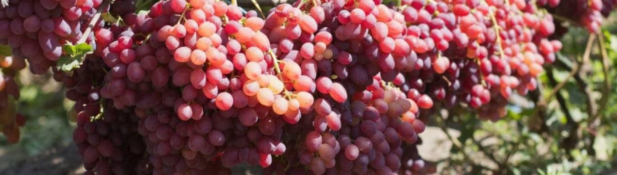 Описание сорта винограда «фавор» с фото и видео