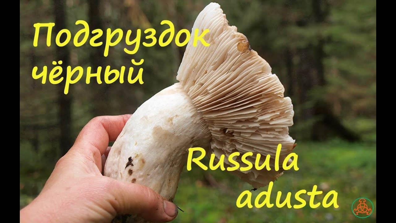 Особенности гриба подгруздка