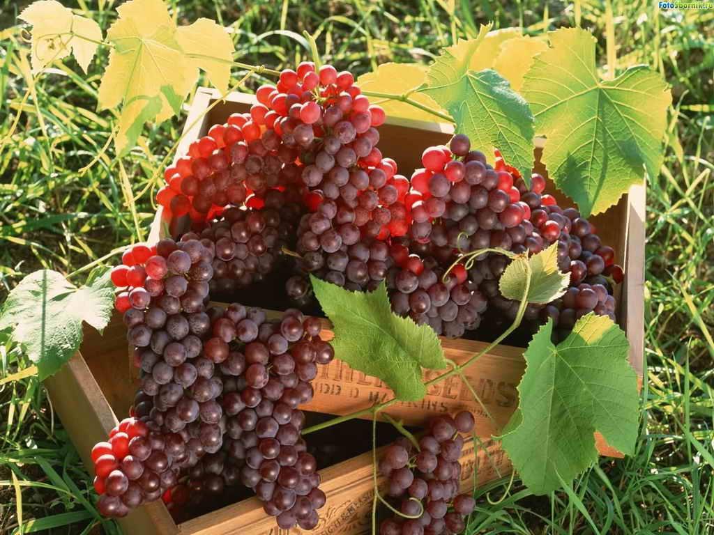 Современные технологии посадки винограда во всех подробностях