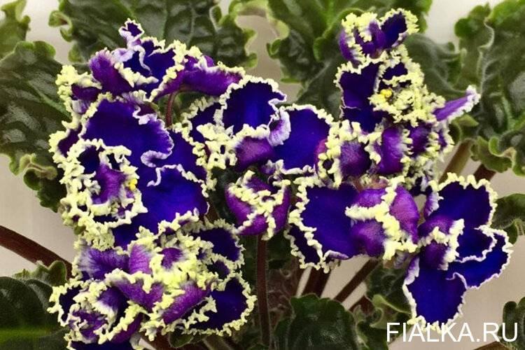 Зеленые фиалки: фото и названия сортов с цветками бело-изумрудного цвета и каймой