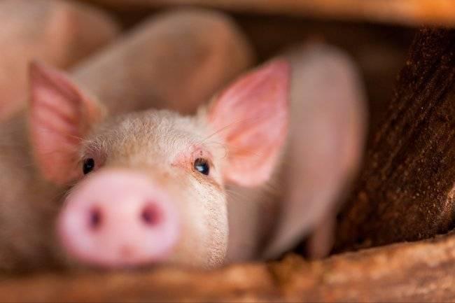 Породы свиней: описание и разновидности