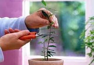 Комнатный гранат – уход и выращивание в домашних условиях