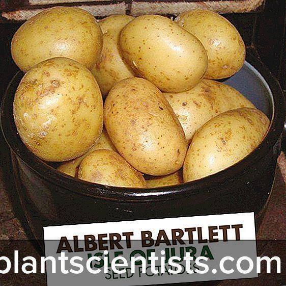Описание сорта картофеля колетте