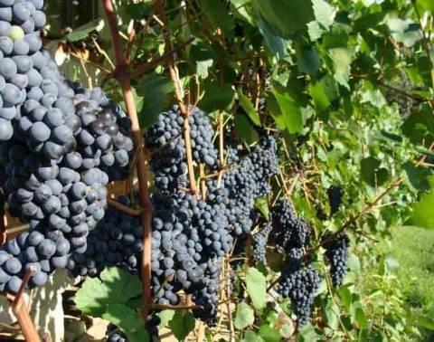 Подкормка винограда в августе: как и какие вносить удобрения