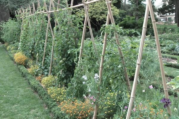 Какие культуры можно, а какие нельзя сажать рядом с помидорами