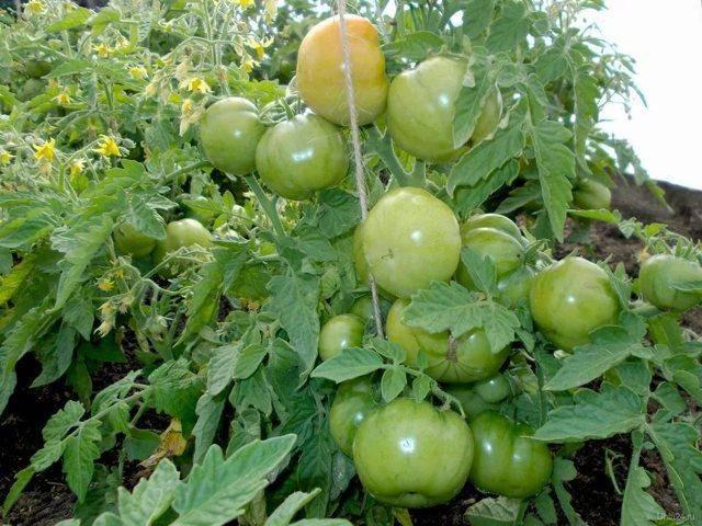 Томат лабрадор: особенности выращивания