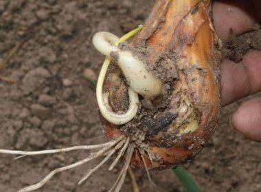Вредители луковых культур: описание, симптоматика и меры борьбы