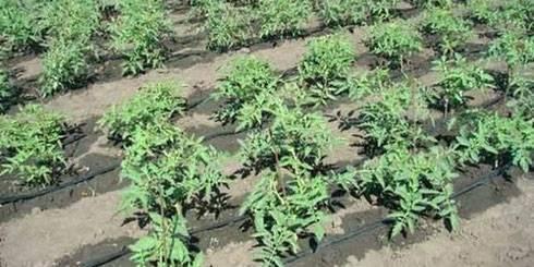Как и когда сажать семена помидоров на рассаду в домашних условиях