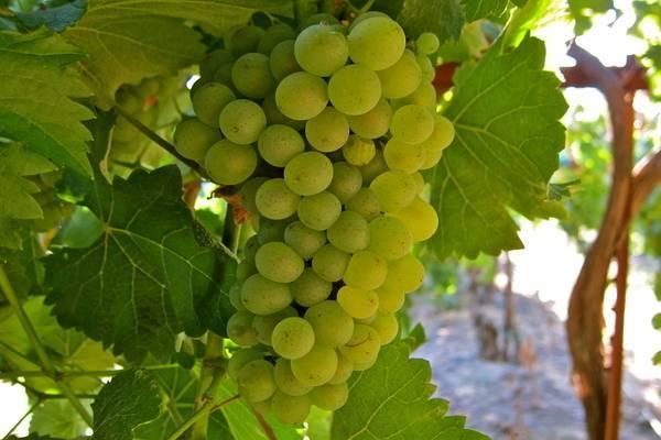 7 самых морозостойких сортов винограда: зимостойкие и неукрывные для беседки и арки