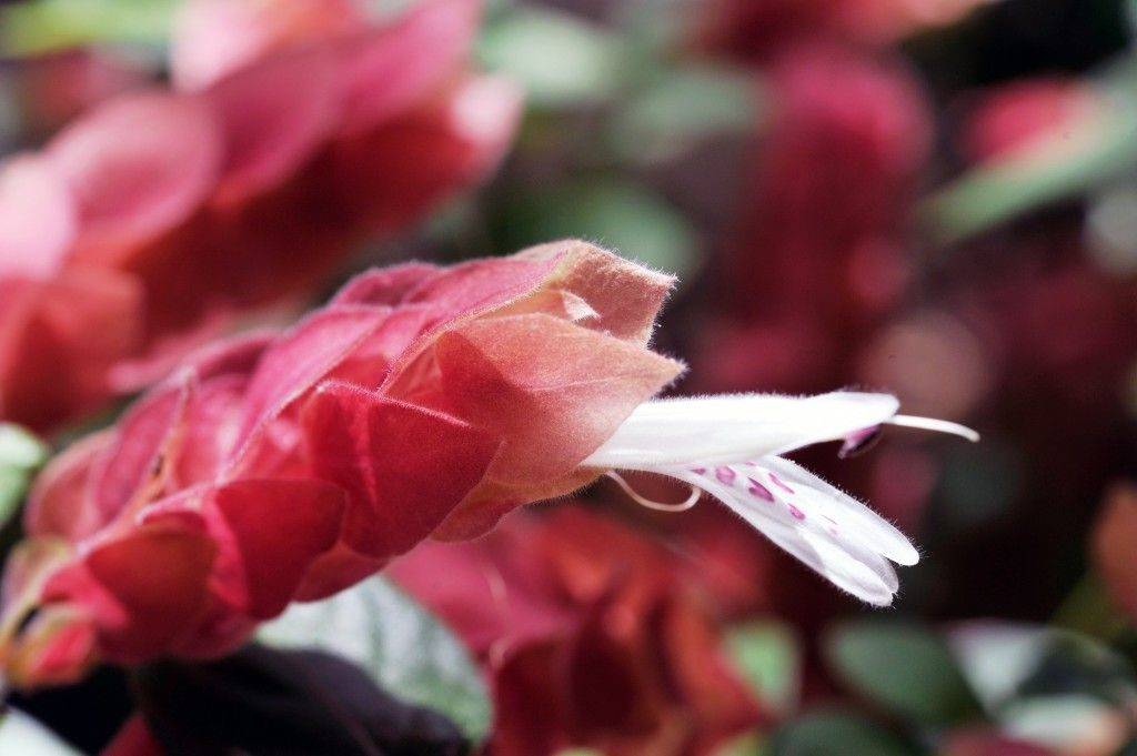 ✅ цветок белопероне уход в домашних условиях - питомник46.рф