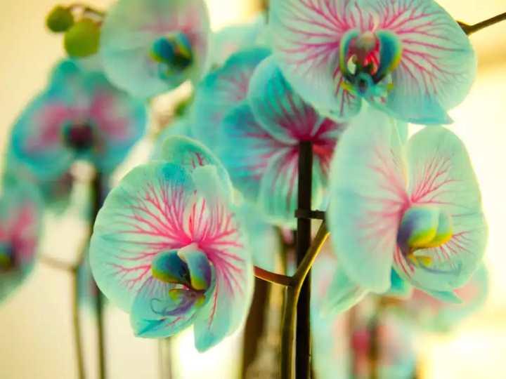 Инструкция, как сделать синюю орхидею в домашних условиях
