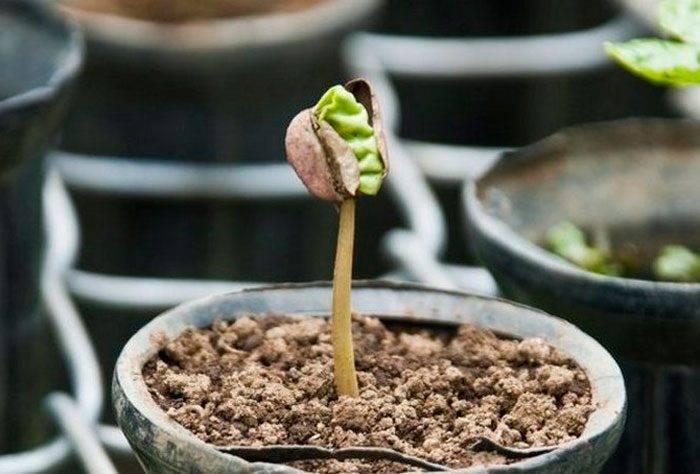 Кофейное дерево в доме: посадка семян и черенков, возделывание