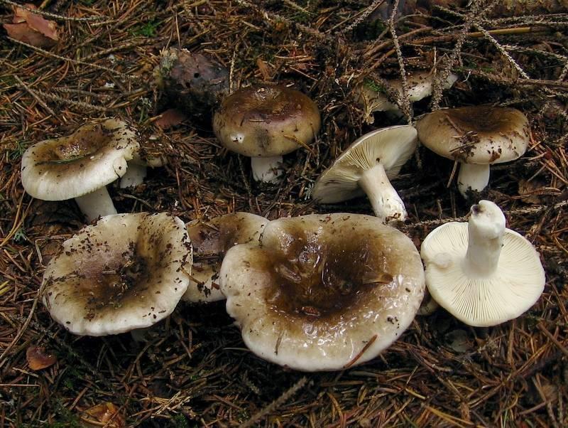 Грибы грузди: виды, описание и фото съедобных сырых грибов, польза
