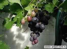 Читать книгу виноград и другие ягоды вашего сада николая курдюмова : онлайн чтение - страница 1