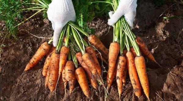 Когда убирать морковь с грядки на хранение - по регионам, лунному календарю