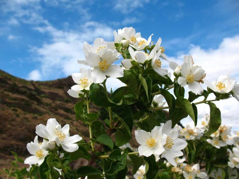 Кустарник чубушник: посадка и уход в открытом грунте, виды и сорта фото названиями
