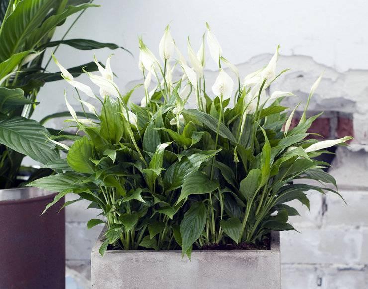 Комнатные цветы, которые должны быть в каждом доме - фото и названия (каталог)