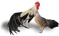 Порода кур феникс