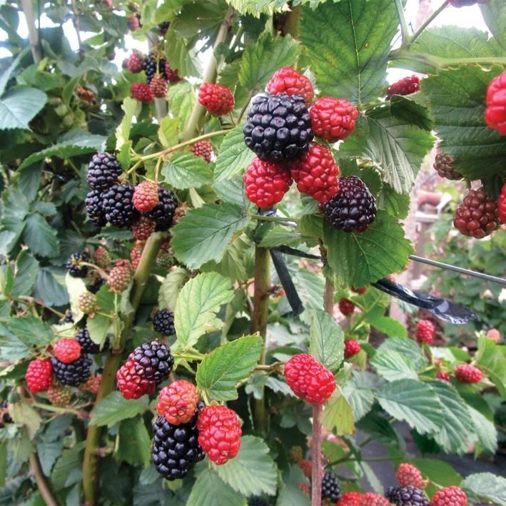 Ежевика полар: описание сорта, фото, руководство по выращиванию