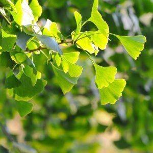 Гинкго билоба растение выращивание