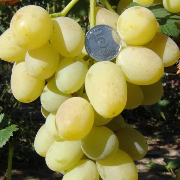 """Виноград """"ландыш"""": описание сорта, фото, отзывы"""