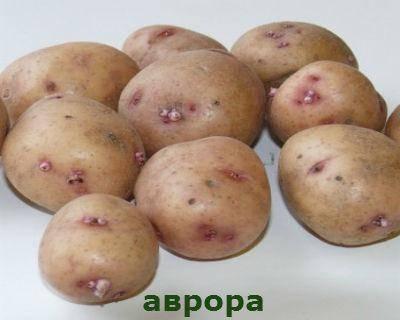 Картофель аврора: описание сорта, фото, отзывы, видео, сроки созревания, посадка и уход