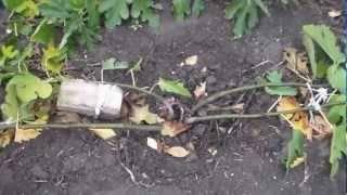 Обрезка и формировка инжира осенью