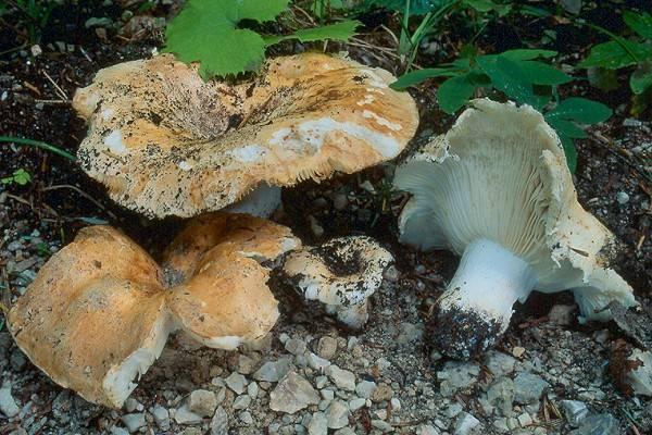 Описание гриба сухой груздь