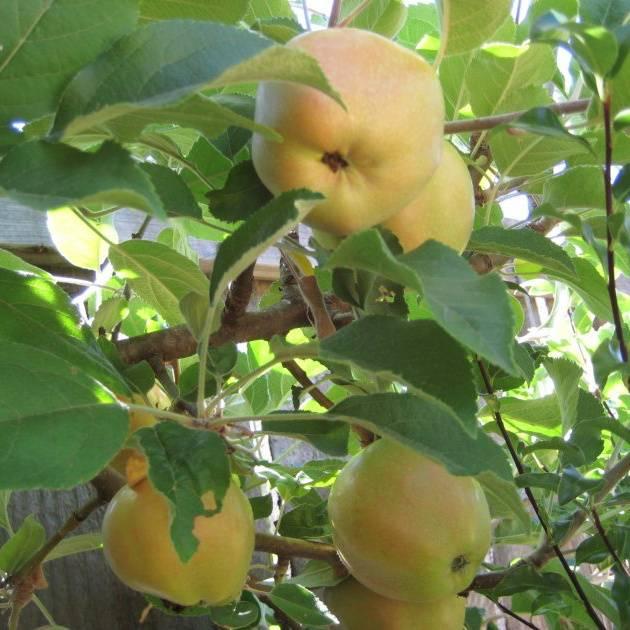 Яблоня розовый жемчуг: сорт красного яблока с розоватой мякотью - как называется, отзывы про жемчужное