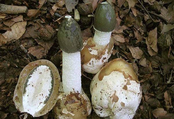 Веселка обыкновенная (phallus impudicus): 27 лечебных свойств