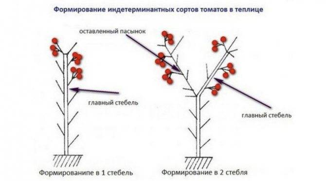 Как правильно формировать кусты высоких и низких помидоров в два, три стебля, в один стебель в теплице и открытом грунте: схема, советы. когда лучше начинать формировать помидоры? если помидоры не формировать, что будет?