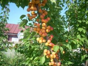 Колонновидные сорта абрикоса, особенности посадки и выращивания, в том числе в регионах, отзывы