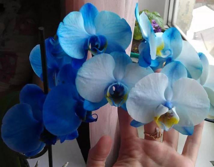Голубые и синие орхидеи: особенности и уход
